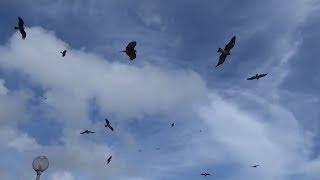 Rợn người  cảnh bầy chim ưng săn mồi