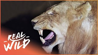 Predators In Peril [Big Cat Documentary] | Real Wild