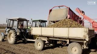 Сезон уборки картофеля стартовал в Артёме