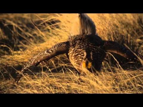 The Grouse Dance of American Prairie Reserve