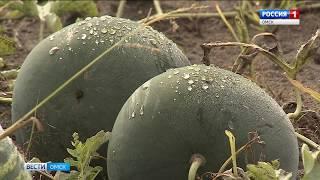 В Омской области в разгаре сезон арбузов