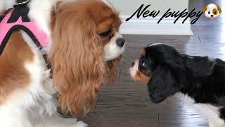 WE GOT A NEW PUPPY VLOG   CAVALIER KING CHARLES SPANIEL   + PUPPY SUPPLIES
