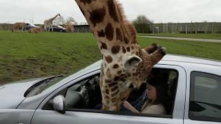 Hranila je žirafu iz automobila, a onda je jednim potezom svima uništila dan. Dobro obratite pažnju na 0:05 sekundu…