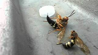 Huge Cicada Killer Wasp with Stinger Completely Out