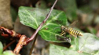 Wasp with broken wings struggles to fly