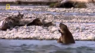 The Dam Beavers   Natures Engineers Building A Full Wildlife Documentary HD