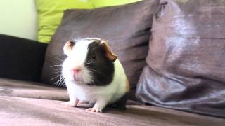 Very excited guinea pig HD