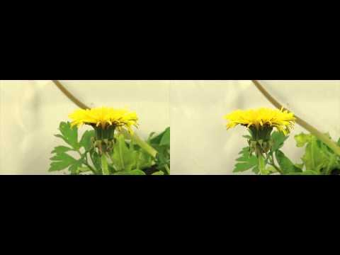 Pusteblume Löwenzahn Dandelion 3D stereoscopic timelapse