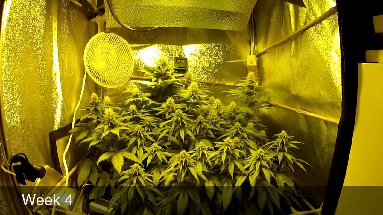 Scrog Grow Part2 Flower Week 1 5 250w Hps Pineapple