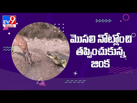 Watch: A deer saves from a crocodile attack in the last moment