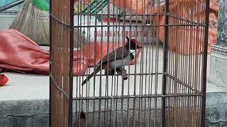 Còn mấy cặp chim xả chuồng ae vào xem nếu vừa ý thì alo nhé (0941139352)