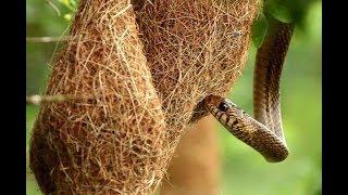 Điều gì xảy ra khi rắn độc bò lên tổ chim rồng rộc