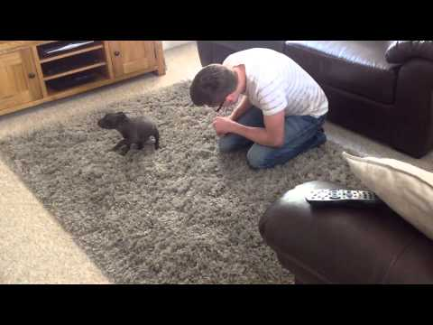 Blue Staffy puppy's reaction to new home, part 3