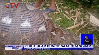 Warga Digegerkan Penemuan Ular Piton Pemangsa Anak Sapi di Sulsel - BIS 17/05