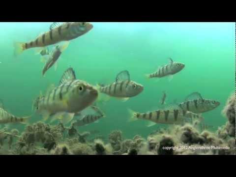 Подледная рыбалка. Видео о окуне!
