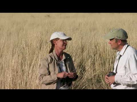 screenshot of youtube video titled Giant Sacaton Grass | Expeditions Shorts (small thumbnail)