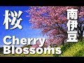 Kawazu cherry blossoms in Minami 桜便り by Discover Nippon on YouTube