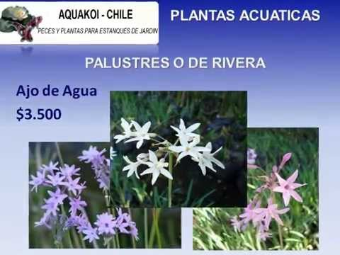 Peces koi flor de loto y otras plantas acuaticas para for Peces koi baratos