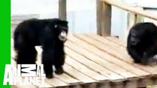 Ovaj hrabri čovjek je preskočio ogradu zoološkog vrta kako bi spasio čimpanzu koja se gušila!