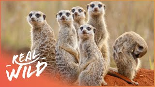 Bandits Of Selous [Mongoose Documentary] | Real Wild
