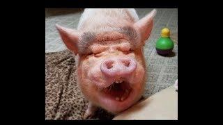 CUTEST MINI PIG THROWING A TEMPER TANTRUM 😂 AFRICAN GREY SAYS