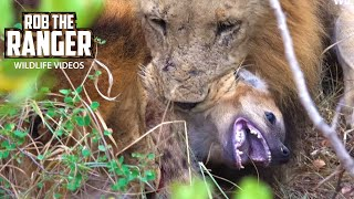 Lions Catch Spotted Hyena Cub At A Hyena Den