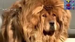 Chó Ngao Tây Tạng To Nhất Thế Giới