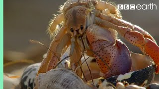 Amazing Crabs Shell Exchange | Life Story | BBC