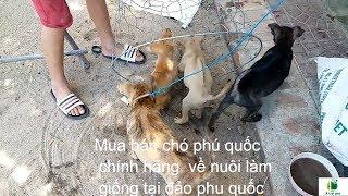 Mua bán chó xoáy tại đảo phú quốc | về nuôi làm giống đt 01675043122 hoặc 01206026789