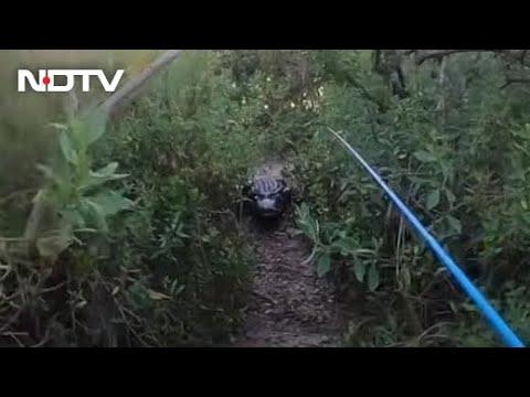 Watch: Giant Alligator chases Florida man during Tarpon fishing