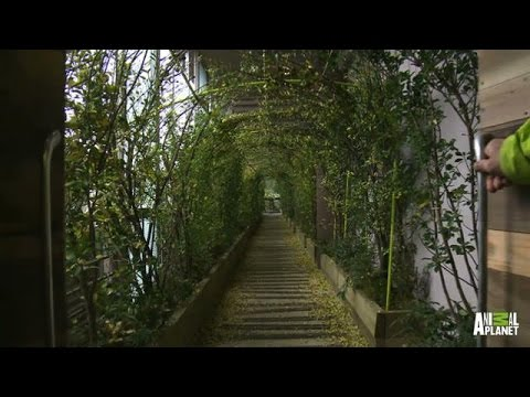 Montage: Breathtaking Japanese Treehouses | Treehouse Masters - Animal Planet  - f7BBUMigR98 -