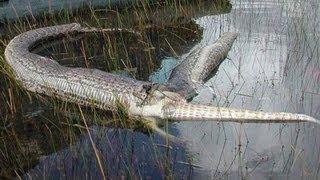 Četiri metra duga zmija pojela je aligatora, a onda joj je uslijedio pravi PAKAO!