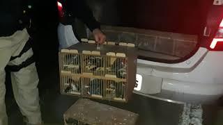 Cerca de 120 pássaros silvestres são resgatados pela PRF, na BR-116, em Pelotas