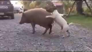 Chuyện tình chó và heo