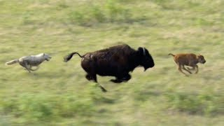Can This Buffalo and Calf Escape These Hungry Wolves? | BBC Earth