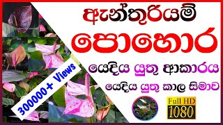 How to apply fertilizer for anthurium cultivation