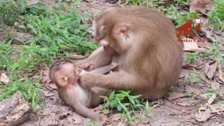 Lucky baby monkey, What mum doing with her baby?, Real life of baby monkey, Monkey Camp part 927