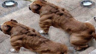 Dünyanın EN TEHLİKELİ 10 Köpek Irkı
