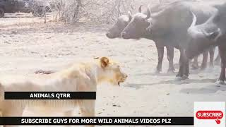Crazy Buffalo Lion Attack! Real Fight!   Lion Leopard Wild Dogs