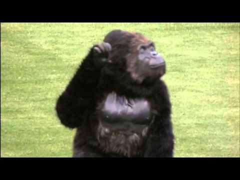 Gorilla Glue Icon Comes To Life In MLB Home Field Debut