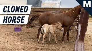 Scientists Have Cloned an Endangered Horse | Mashable
