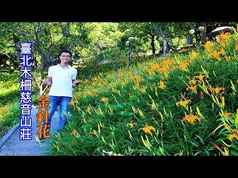 [臺北花季景點] 沒想到在臺北市也有金針花海可以看!帶你坐公車到慈音山莊看花去