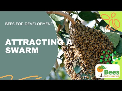 Bees and Trees Project in Nkor, Cameroon - Attracting A Swarm