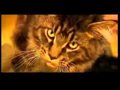 Dijabetes mačaka