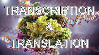 Transcription and Translation ANIMATION - MADE EASY