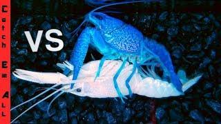 BLUE LOBSTER Vs WHITE LOBSTER! Battle 1 in MILLION Colors Breeding