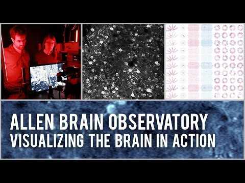 The Allen Institute for Brain Science today announced the release of the Allen Brain Observatory: a highly standardized survey of cellular-level activity in the mouse visual system. This dynamic tool empowers scientists to investigate how circuits in the behaving mouse brain coordinate to drive activity and perception, and lays a crucial foundation for understanding perception, cognition and ultimately consciousness.