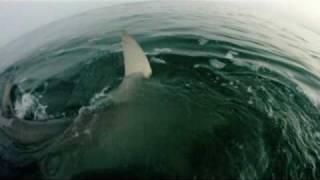 Un requin partage la prise de pêche