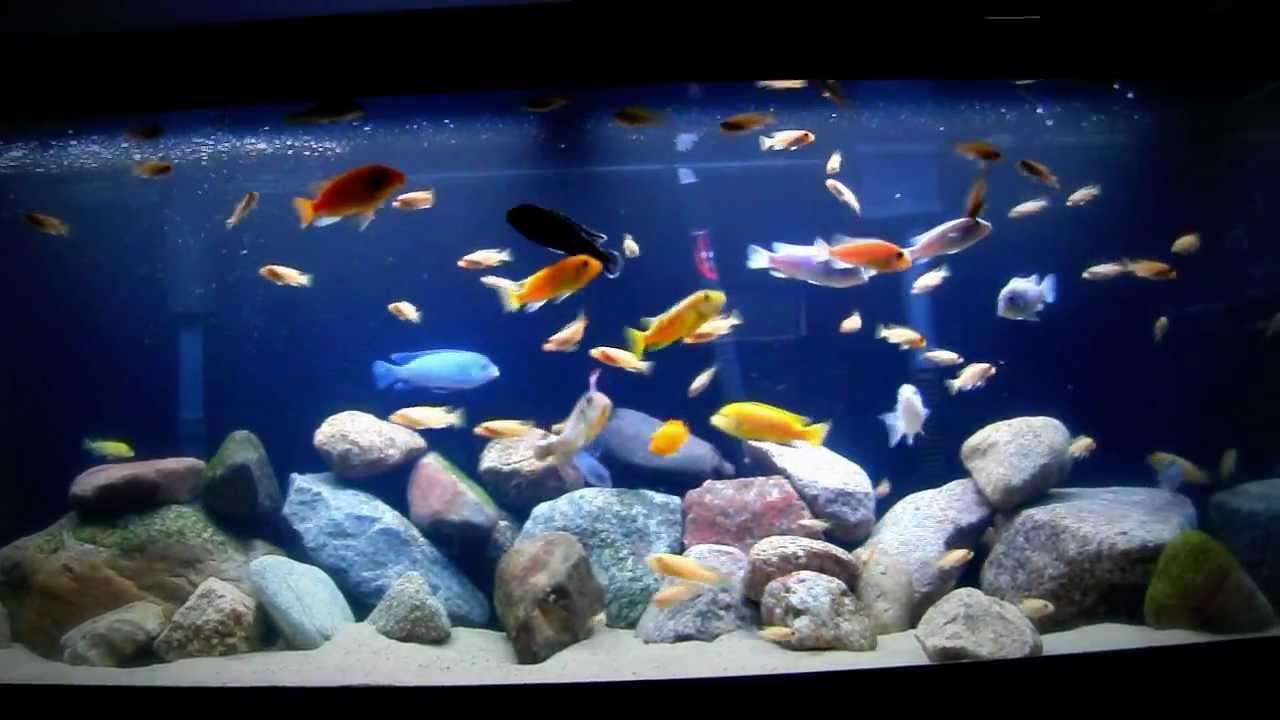 75 Gallon Cichlid Tank Feeding Time Youtube