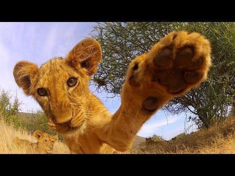 Ве поздравува најслатко лавче на камера